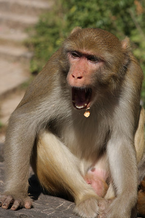 Monkeys are always waiting for food. Unless you have some visible they will not bother you.