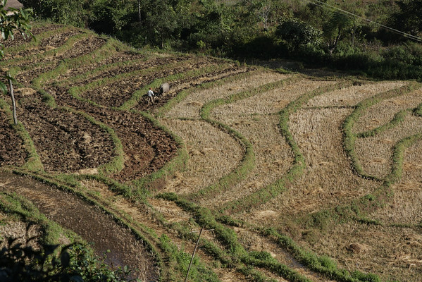 Rice terraces being ploughed using an ox. The land is first softened using water. A nearby river is detoured to the upper side of the terraces and the water flows to the lower ones.