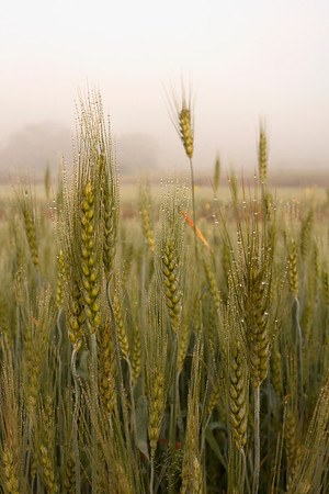 Wheat field in the morning.