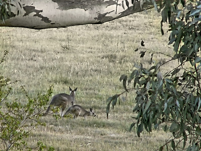 Roos on the Hill