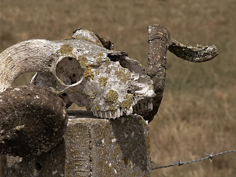 Ram's Skull on Post