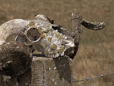 Ram's Skull on Post