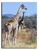 92. Girafs near one of the roads, Etosha National Park.