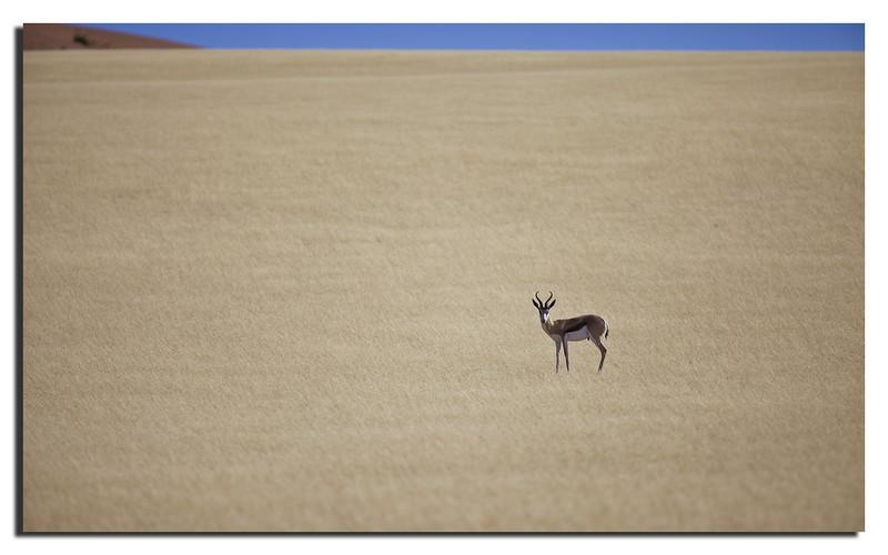 66. Springbok near Soussuvlei.