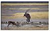 102. Oryx & Springbok. Etosha National Park.
