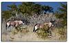 116. Two Oryxs.