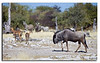 99. A Wildebeest moves in....................