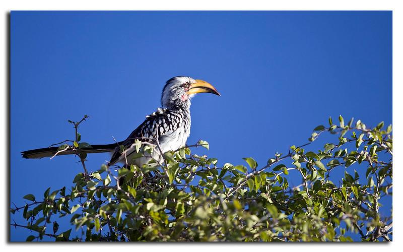 117. Southern Yellow-billed Hornbill.