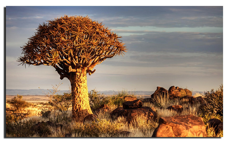 7. The famous Quiver trees near Keetmanshoop. Related to Aloe Vera.