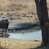 One of our first visitors at our waterhole - a wildebeest. There were lots more but Nick's camera experienced a catastrophic failure and three days of pictures were wiped. Mortifying.