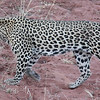 Onto Okonjima, 90 minutes north of Windhoek. A more commercial reserve dedicated to conservation of Leopards and Cheetahs. Our brief (and only) glimpse of one of the resident leopards (called MJ).