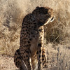 Final morning in Namibia and this time its Cheetahs!