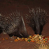 Lots of jokes about how do porcupines mate? Carefully.