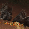 They are quite aggressive with each other and will happy swat their mates with the spines to get to the food.