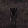 Our only Hyena - just glimpsed in the twilight.