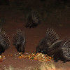 They also have a large resident Porcupine population - these guys get to clean up all the kitchen scraps.
