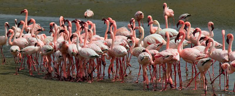 Flamingos, Walvis Bay