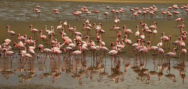 Flamingos, Walvis Bay