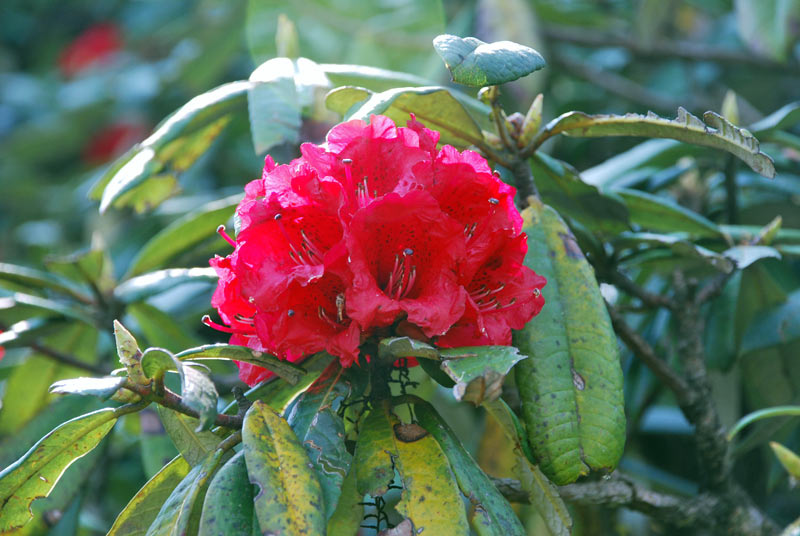 Genuine Himalayan Rhododendron