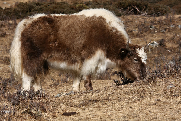 At low altitude people have goats. Above 3000 meters you can find only yaks.