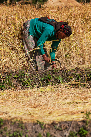 Crops are manually harvested.