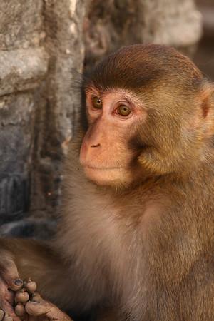 Monkey at Swayambhunath (also known as Monkey Temple) in Kathmandu.