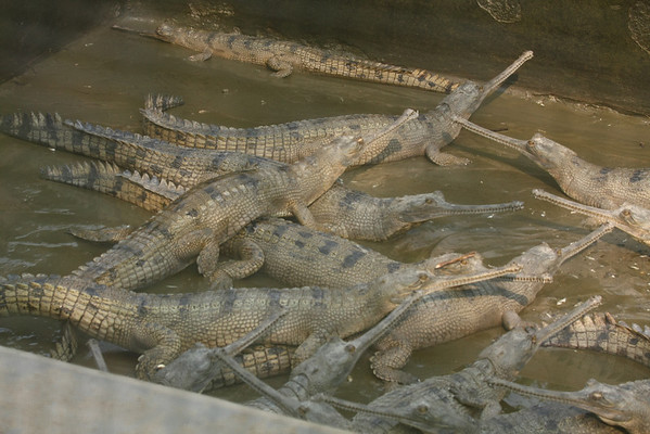 Gharial crocodiles are endangered. This farm tries to breed them.