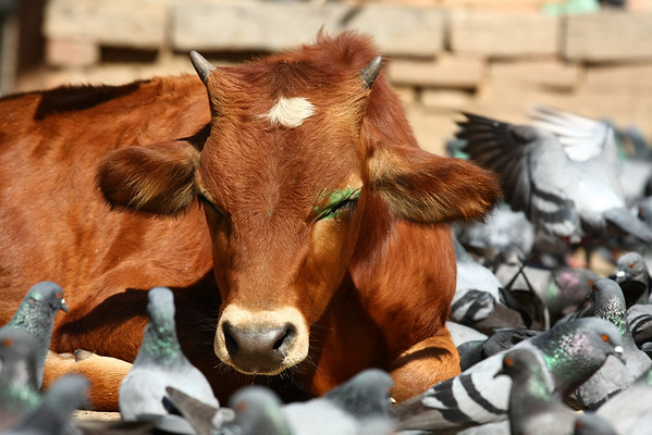 Cows are considered holy in Hindu religion and have a very good life unlike the oxen.