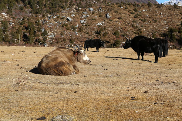 Yaks can live at high altitudes although here we have also seen horses going through a pass at over 5000m.