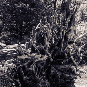 New Forset fallen tree