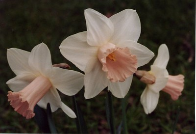 More daffodils in Christchurch. This photograph was taken by Stephen Fong with a Sigma SA-300N (35mm SLR).