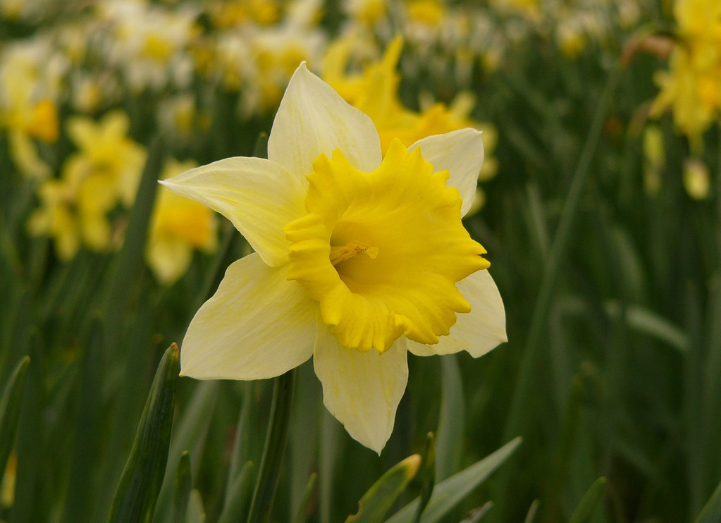 Christchurch is well known for its fields of daffodils. This photograph taken with a Panasonic DMC FZ-10.