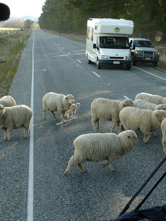 New Zealand is well known for its many sheep. We travelled around New Zealand using the InterCity buses and Newman's buses. Although they are transport buses, the drivers  give a running and non-intrusive commentary on any points of interest.