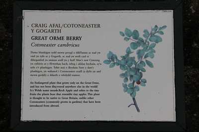 Description of the Great Orme Berry in the Wildlife Garden the top of the Great Orme. 26 June 2012