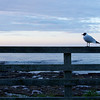 Seagull at Seahouses