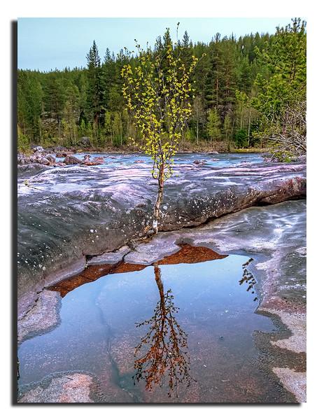 Lonely Birch.................