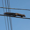 Black Squirrel on the cables