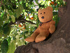 Bear in the orange tree