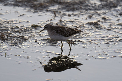 Is this a Temminck's Stint?