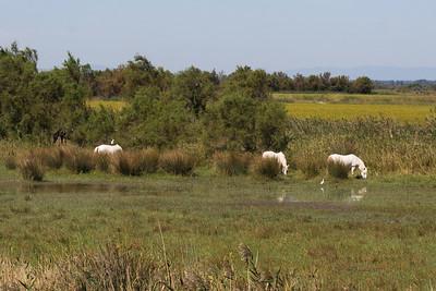 Wild horses, Camargue, France