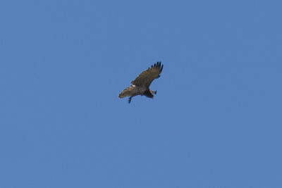 Short-toed Eagle, Camargue, France, September 2010