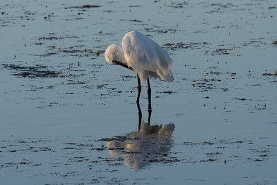 Little Egret, Camargue