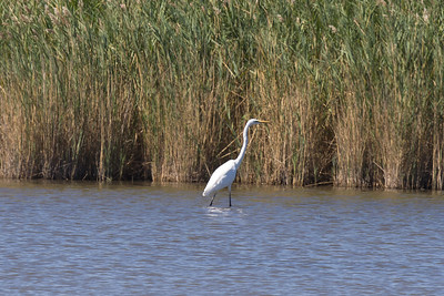 Great Egret, Camargue, France