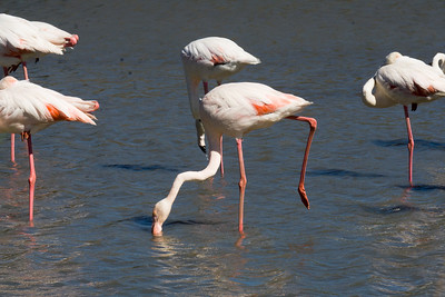 Flamingos, Parc Ornithologique, Camargue