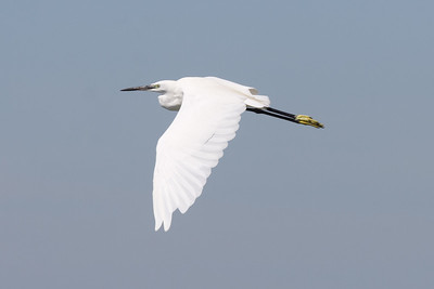 Little Egret, Camargue, France