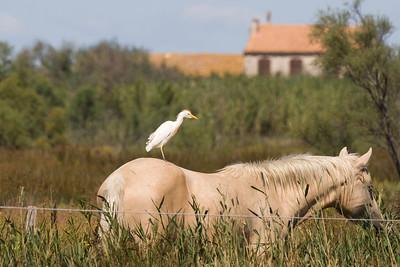 Cattle Egret, Camargue, France