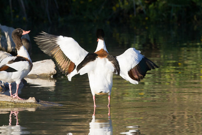Shelducks, Camargue