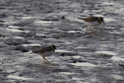 Little Ringed Plover, Parc Ornithologique, Camargue