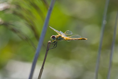 Dragonfly, Camargue, France