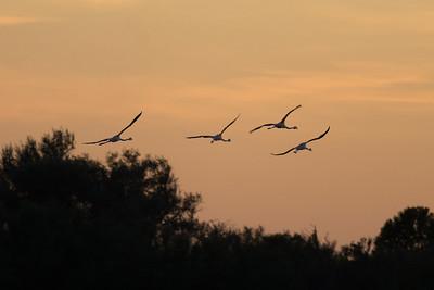 Flamingos, Parc Ornithologique, Camargue